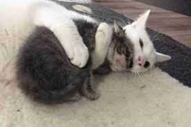 Cat white moma hugging baby kittenimages.jpg